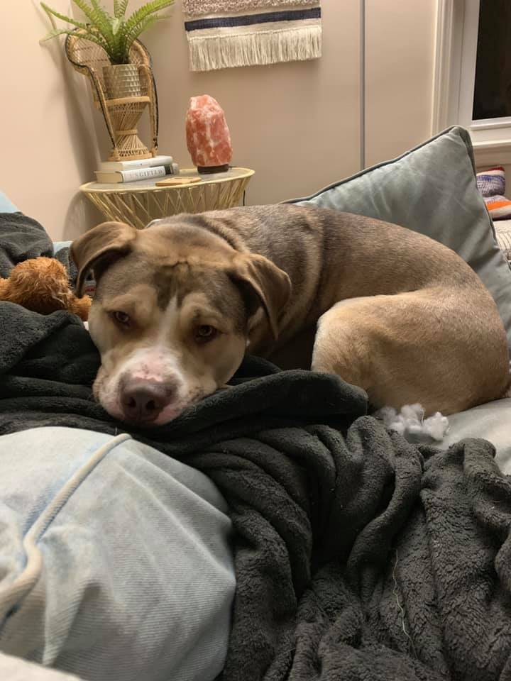 Nipsey, an adoptable Husky & Pit Bull Terrier Mix in Kentwood, MI