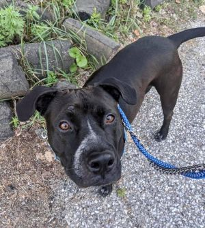 WHERE IS A PITBULL LOVER FOR PANTHER This handsome boy came to DAWS all the way from Texas He is