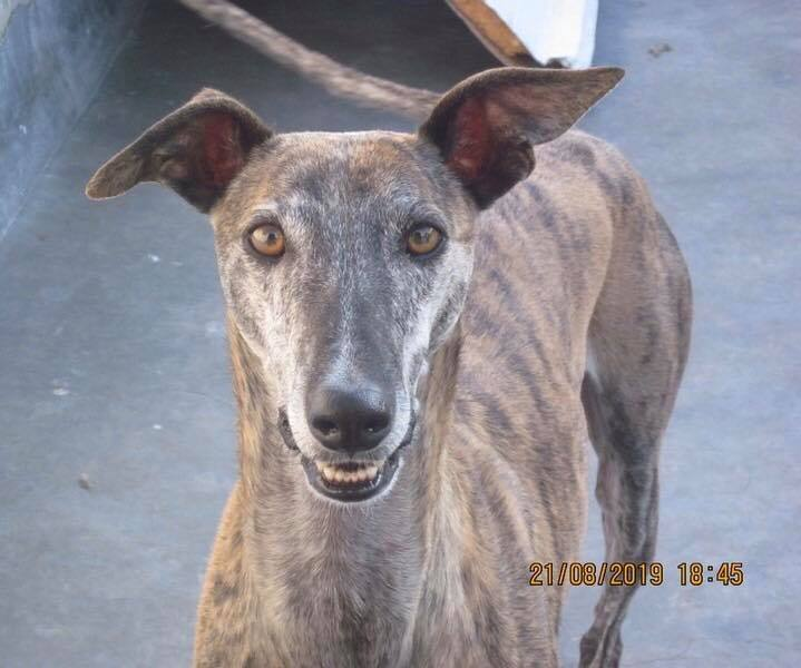 Ray, an adoptable Galgo Spanish Greyhound in McLean, VA