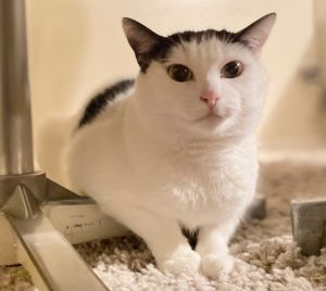 Elizabeth Taylor Tuxedo Cat
