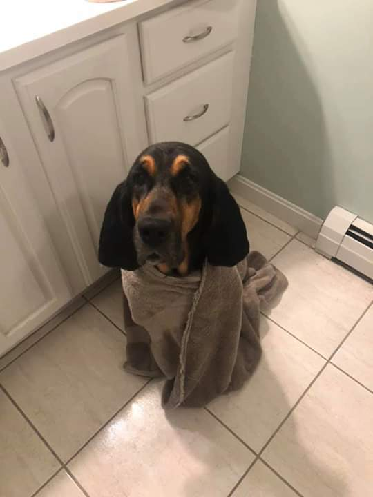 Dixie Adoption Pending, an adoptable Bloodhound in Southbridge, MA
