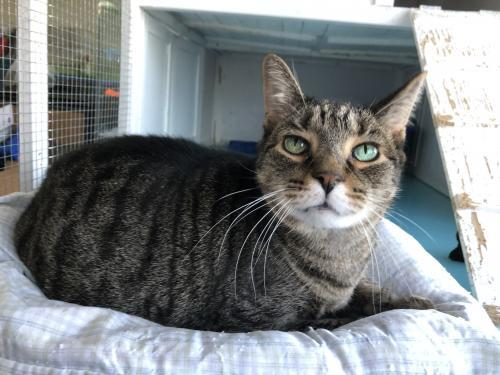 Bob, an adoptable Tabby & Domestic Short Hair Mix in Monroe, MI