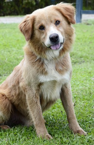 Darwin, an adopted Golden Retriever Mix in Carencro, LA