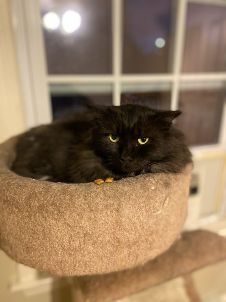 Inky, an adopted Domestic Medium Hair Mix in Warwick, RI