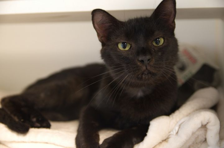 Pebbles, an adoptable Domestic Short Hair Mix in Bellingham, WA