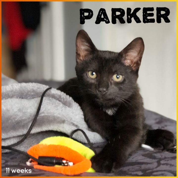 Parker, an adoptable Domestic Short Hair in Boiling Springs, PA