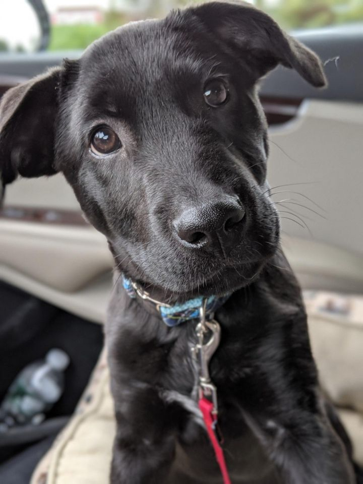 Storm, an adopted Labrador Retriever Mix in Albany, NY