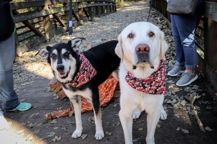 Raymond and Summer, an adopted Labrador Retriever Mix in Springfield, MO