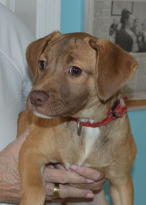 June, an adopted Labrador Retriever Mix in Milledgeville, GA