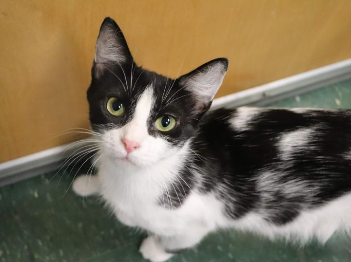 Paris, an adoptable Domestic Short Hair in Waynesburg, PA