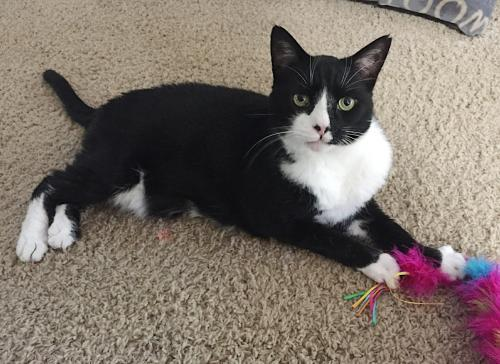 Mickie, an adoptable Tuxedo & Domestic Short Hair Mix in Springfield, OR