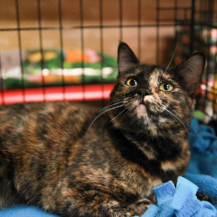 Ruth, an adopted Tortoiseshell & Domestic Short Hair Mix in Mission Viejo, CA