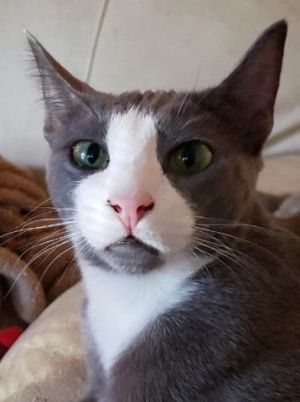 Richard (bonded with Alien) American Shorthair Cat