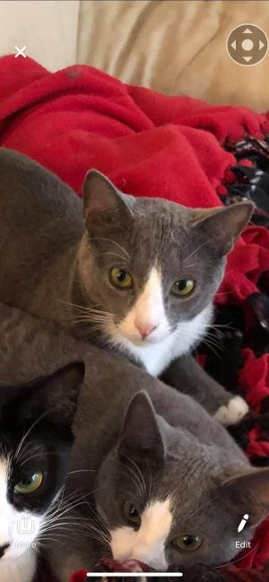 Alien (Bonded with Richard) American Shorthair Cat