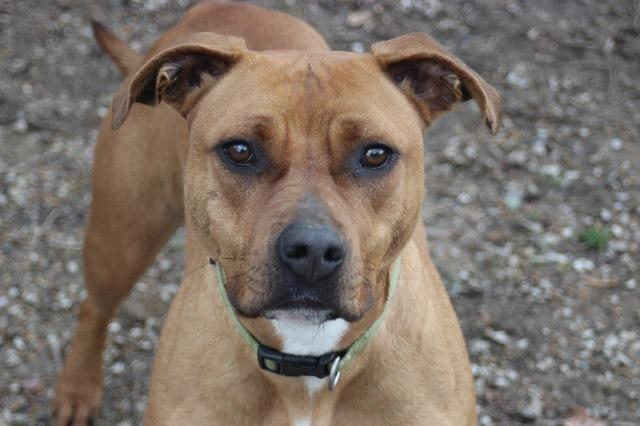 Mabel, an adoptable Pit Bull Terrier Mix in Frankfort, KY