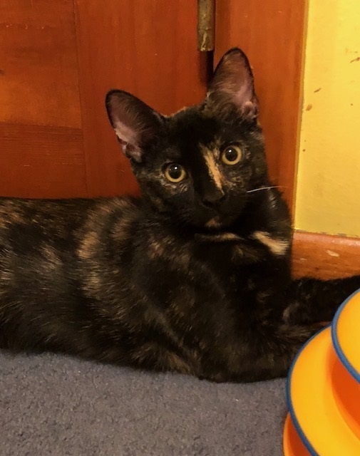 Keaton (LE), an adoptable Domestic Short Hair in Little Falls, NJ