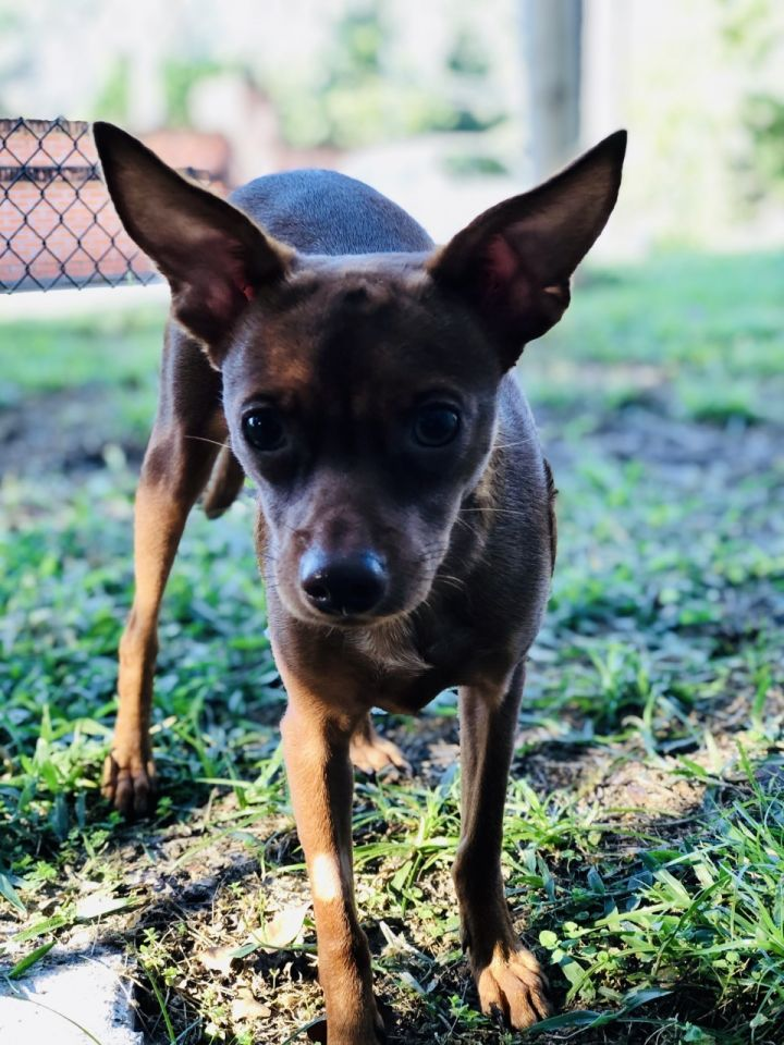 Poppy, an adoptable Chihuahua & Miniature Pinscher Mix in Palm Harbor, FL