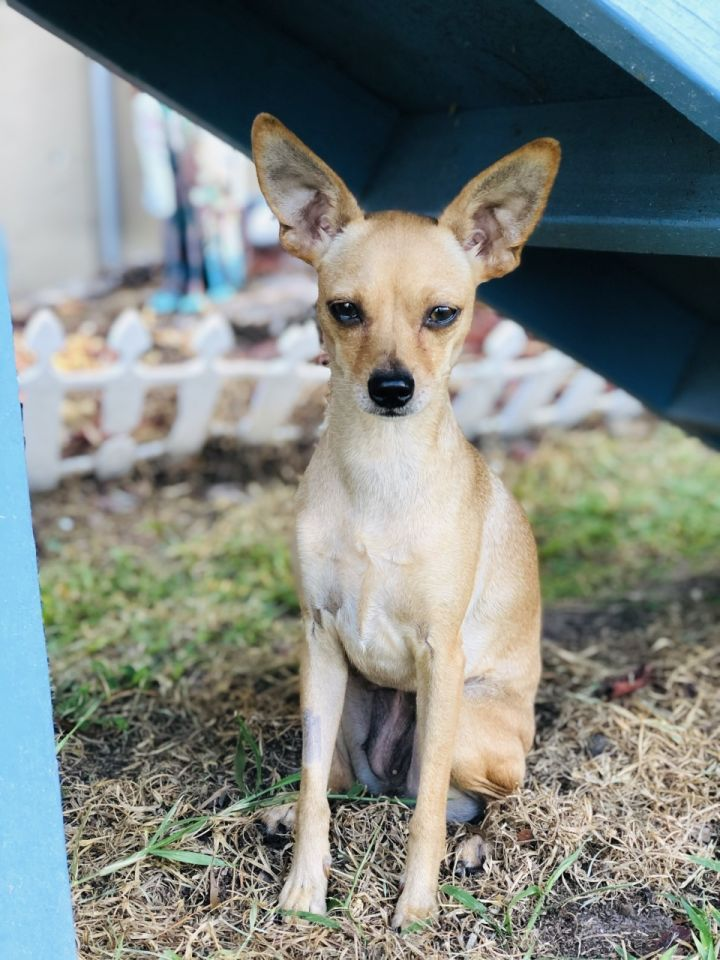 Blossom, an adoptable Chihuahua & Miniature Pinscher Mix in Palm Harbor, FL