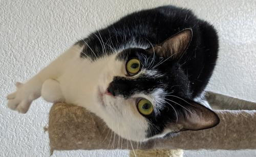 Mitzi, an adoptable Domestic Short Hair Mix in Springfield, OR