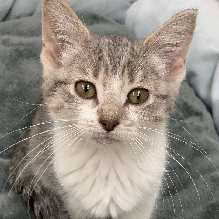 Rogue, an adoptable Domestic Short Hair in Naperville, IL