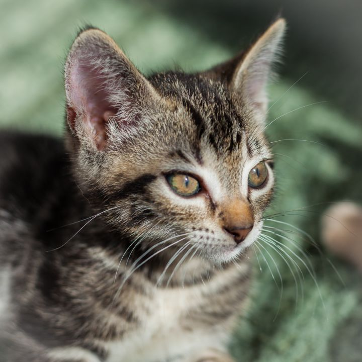 Moffit, an adopted Domestic Short Hair in Ponte Vedra, FL