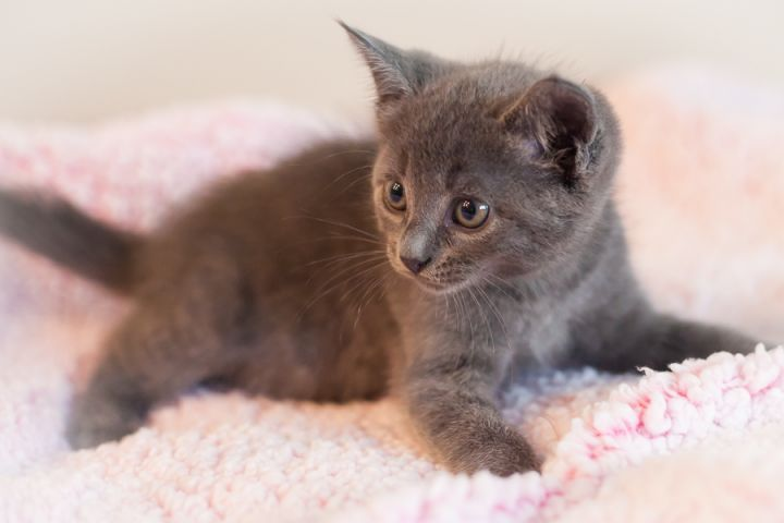 Marcell, an adopted Domestic Short Hair & Russian Blue Mix in Ponte Vedra, FL