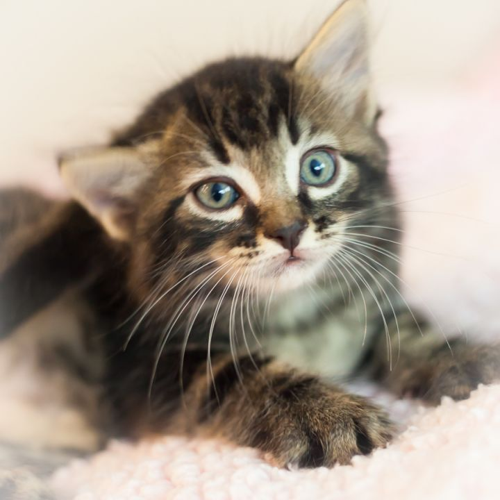 Monaco, an adopted Domestic Medium Hair & Tabby Mix in Ponte Vedra, FL
