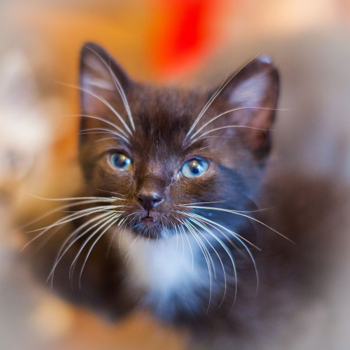 Fenway, an adopted Domestic Short Hair in Ponte Vedra, FL