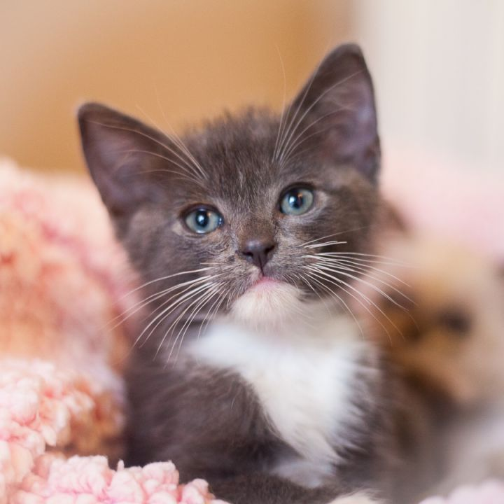 Fremont, an adopted Domestic Short Hair in Ponte Vedra, FL