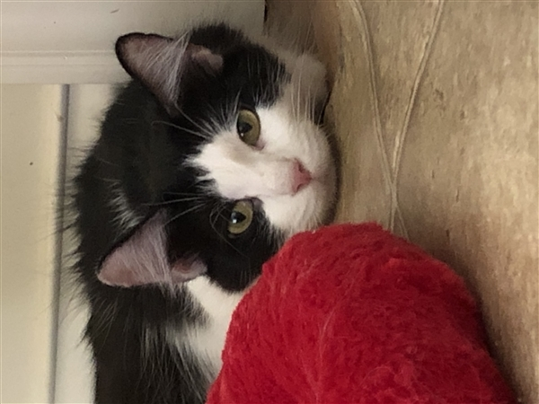 Tippi, an adoptable Domestic Short Hair Mix in Columbus, OH