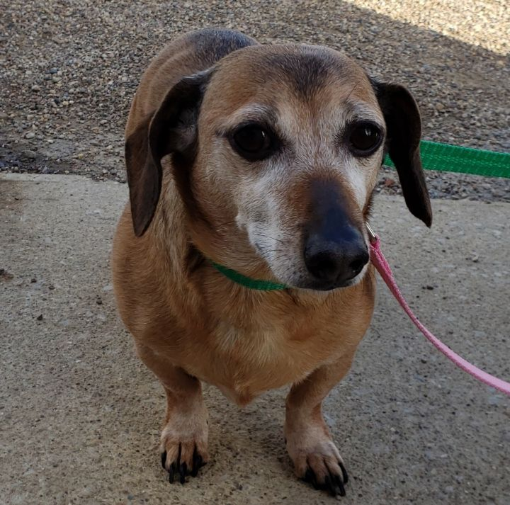 Triscuit, an adopted Dachshund in Bloomington, IL
