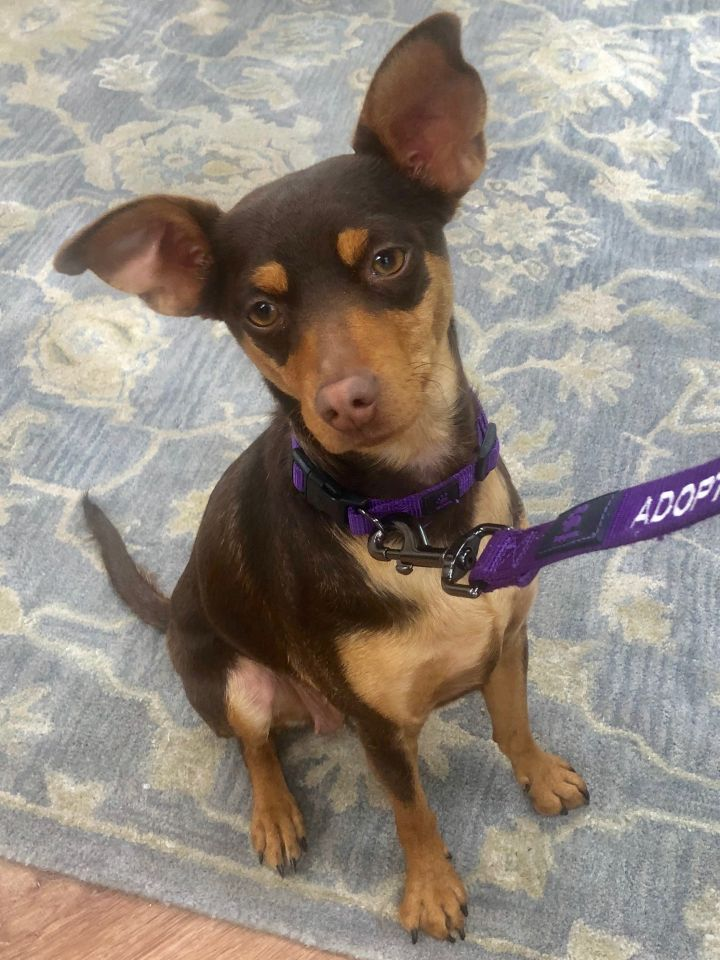 Priscilla, an adoptable Chihuahua & Miniature Pinscher Mix in Acton, CA