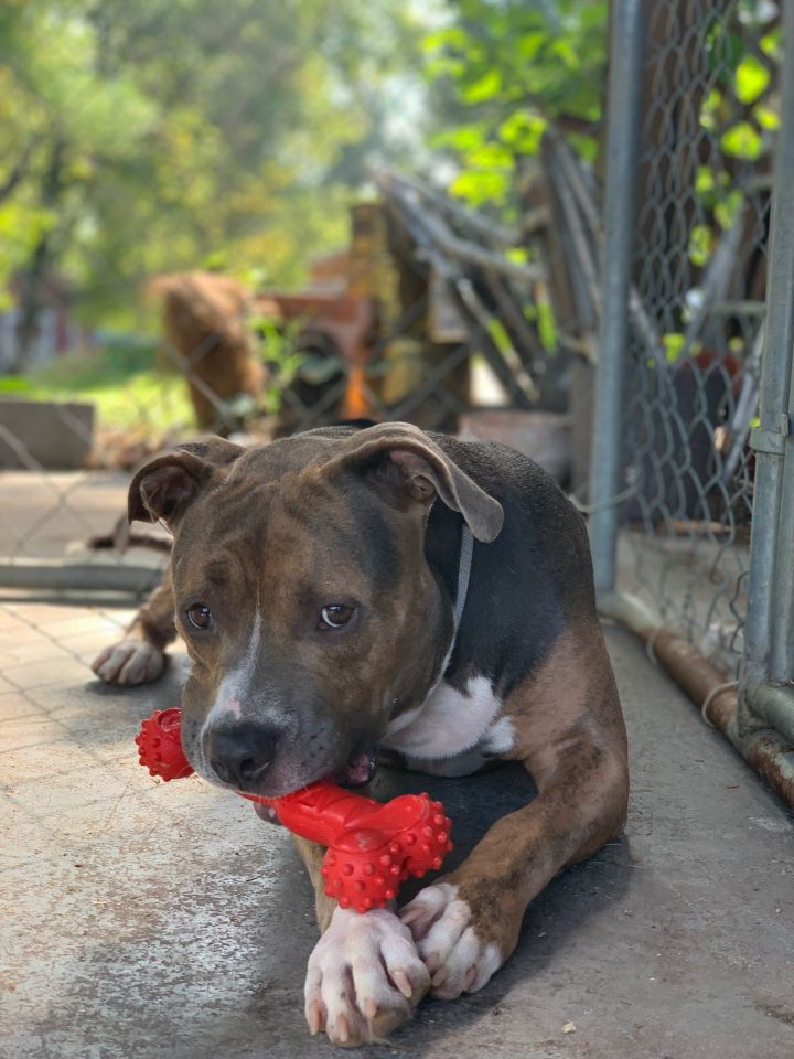 Milo, an adoptable Pit Bull Terrier in Knoxville, TN