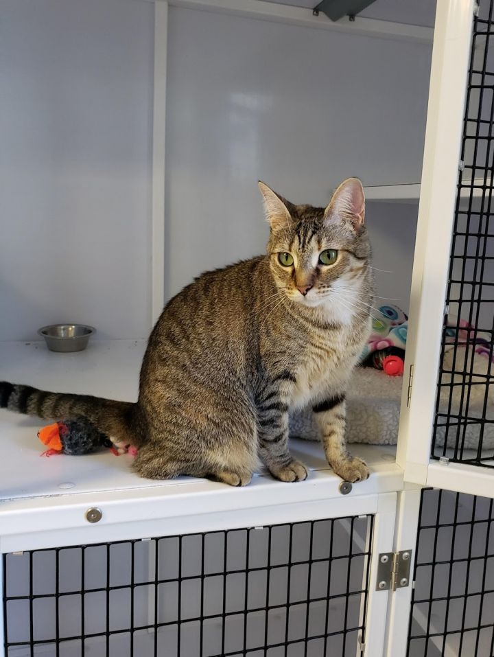 Princess, an adoptable Tabby in Eglin AFB, FL