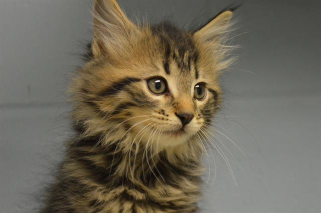 Cat for adoption - JULIUS, a Domestic Long Hair in Decatur ...