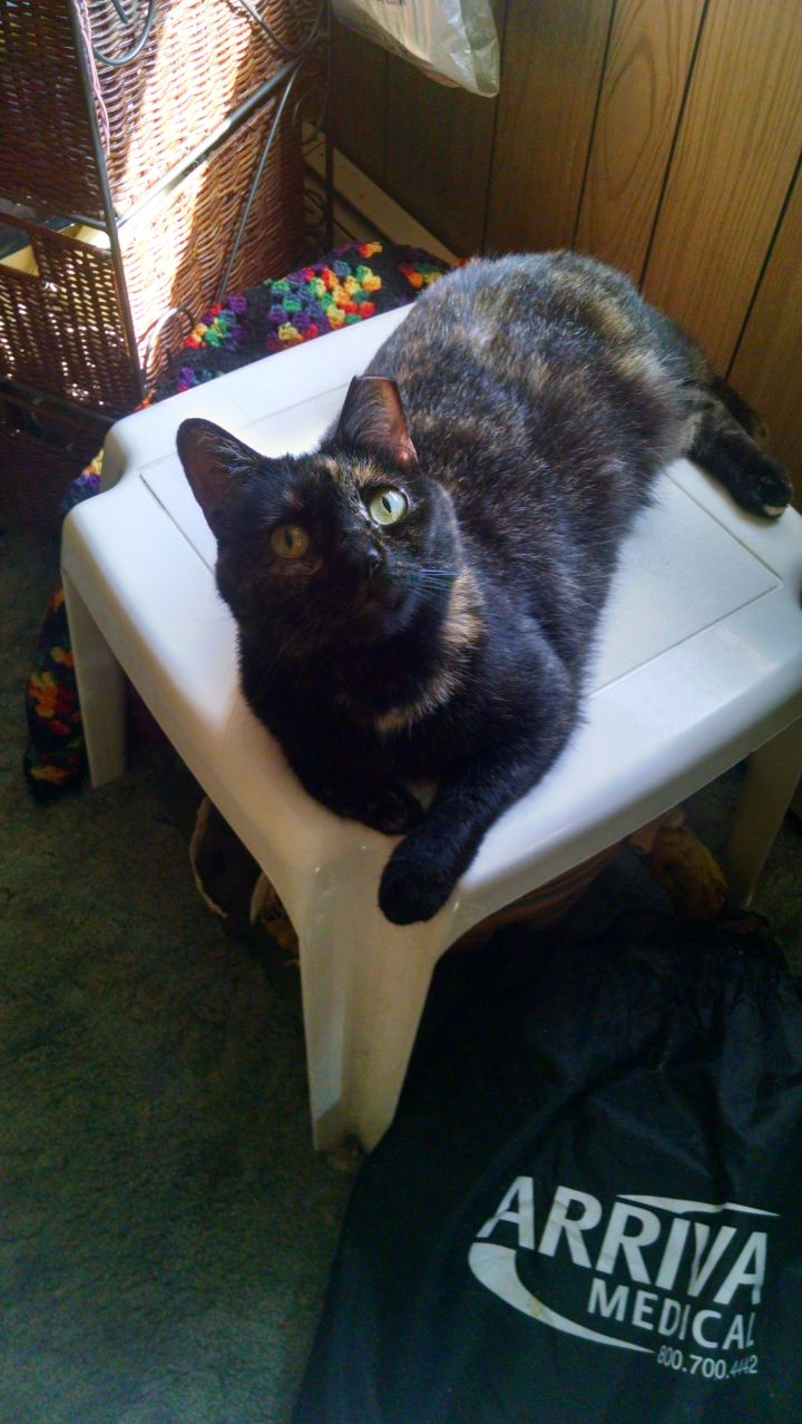 Abby, an adoptable Domestic Short Hair in Bloomsburg, PA