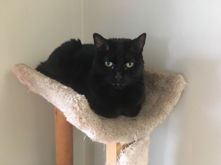 Big Kitty, an adoptable Domestic Short Hair in Madison, WI