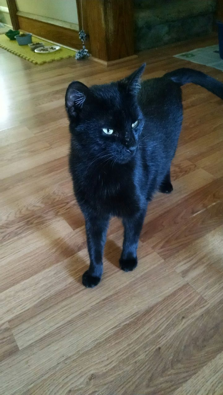 Shadow, an adoptable Domestic Short Hair in Bloomsburg, PA