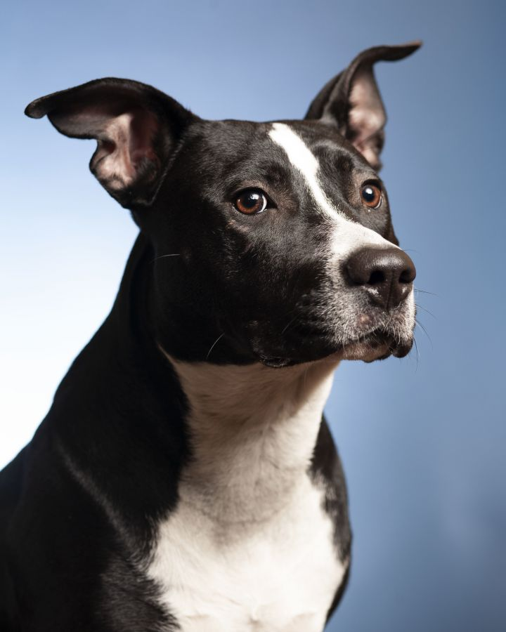 Shayla, an adoptable Pit Bull Terrier & Labrador Retriever Mix in Springfield, IL