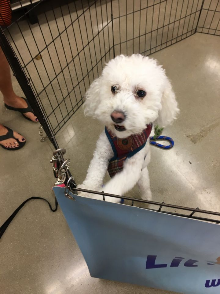 Dog For Adoption Finn A Poodle In Austin Tx Petfinder