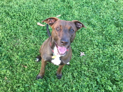 Regina, an adopted Labrador Retriever & Pit Bull Terrier Mix in Athens, GA