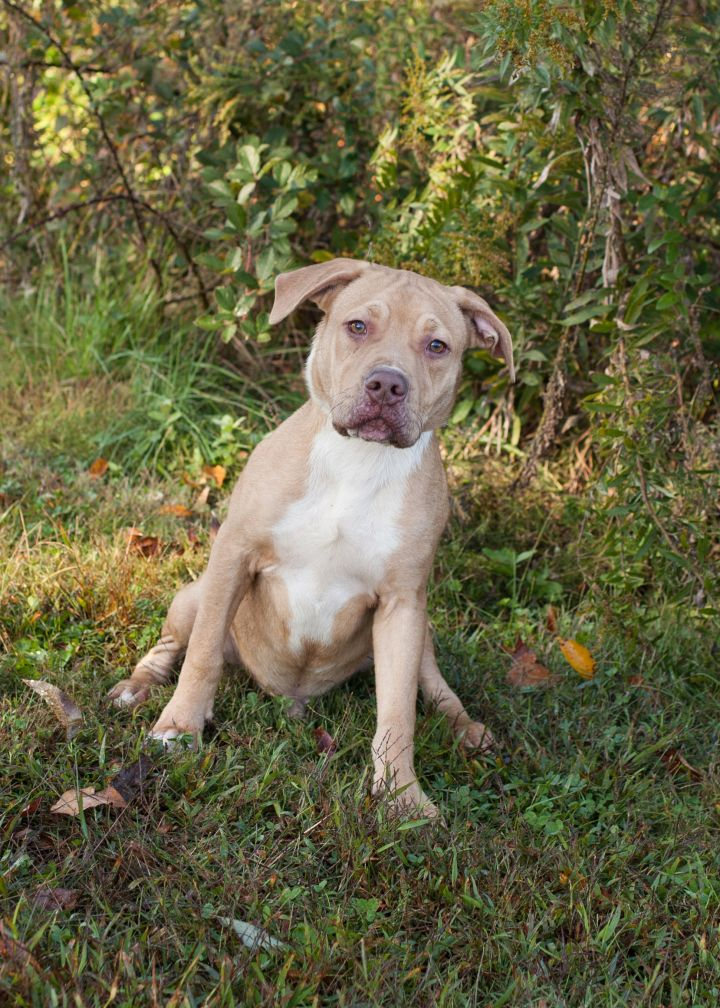 Bobby, an adoptable Pit Bull Terrier Mix in Cape Girardeau, MO