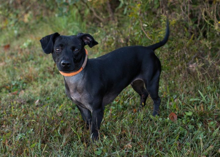 Piper, an adopted Dachshund Mix in Cape Girardeau, MO