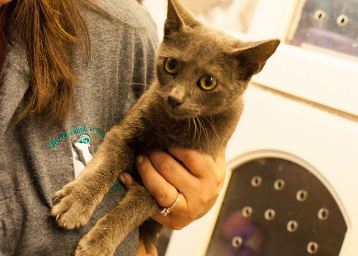 Tery, an adoptable Domestic Short Hair Mix in Cape Girardeau, MO