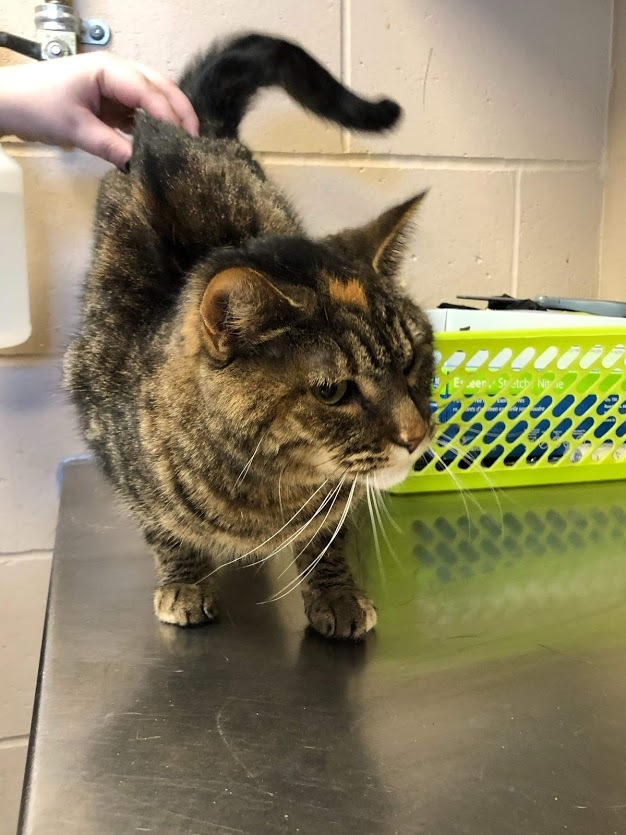 Bella, an adoptable Domestic Short Hair in Appleton, WI