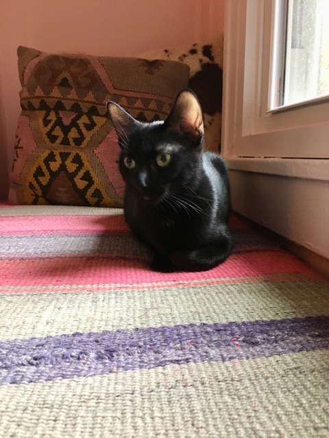 Dot, an adoptable Domestic Short Hair in Chicago, IL