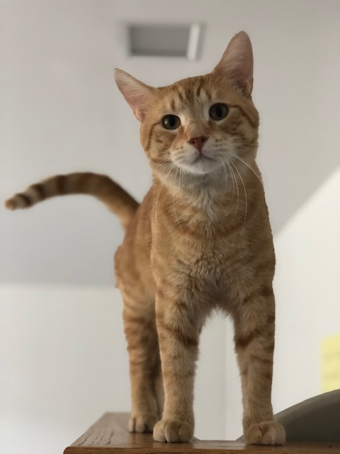 Sundance, an adoptable Domestic Short Hair & Tabby Mix in Oak Forest, IL
