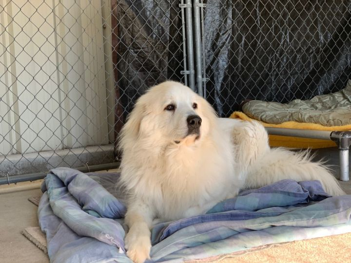 Ruger, an adoptable Great Pyrenees in Saint Louis, MO