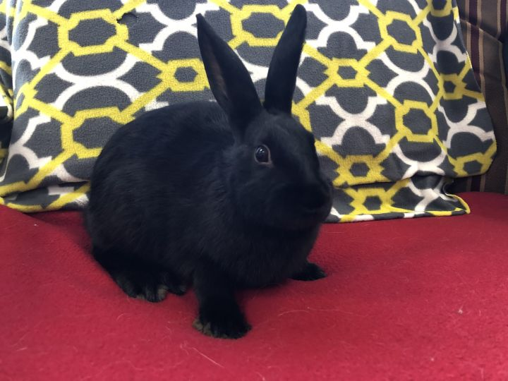 Twitter, an adopted Havana & Mini Rex Mix in Appleton, WI