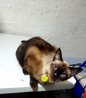 Cat For Adoption Oliver A Siamese Domestic Short Hair Mix In Saint Albans Wv Petfinder